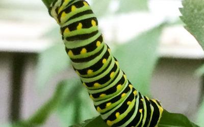 New England Caterpillar ID