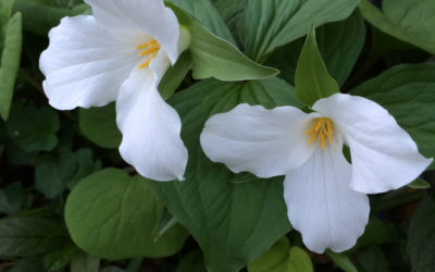Great Plants: Trillium grandiflorum