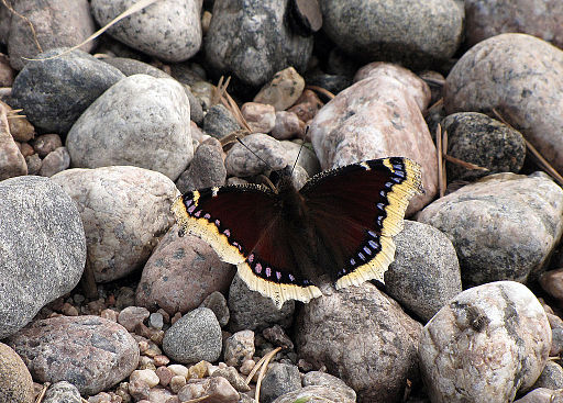 Spring Butterfly – Morning Cloak