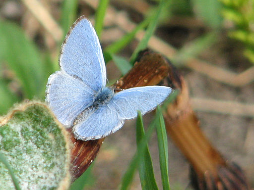 Early Spring Butterfly – Spring Azure