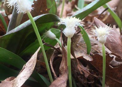 Cymophyllus fraserianus (Fraser's sedge)
