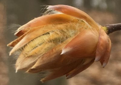 Fagus grandifolia (American beech) bud