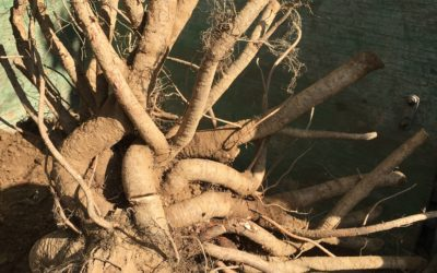 Why Bare Root a Tree before Planting?
