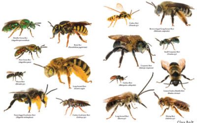 Understanding Native Bees